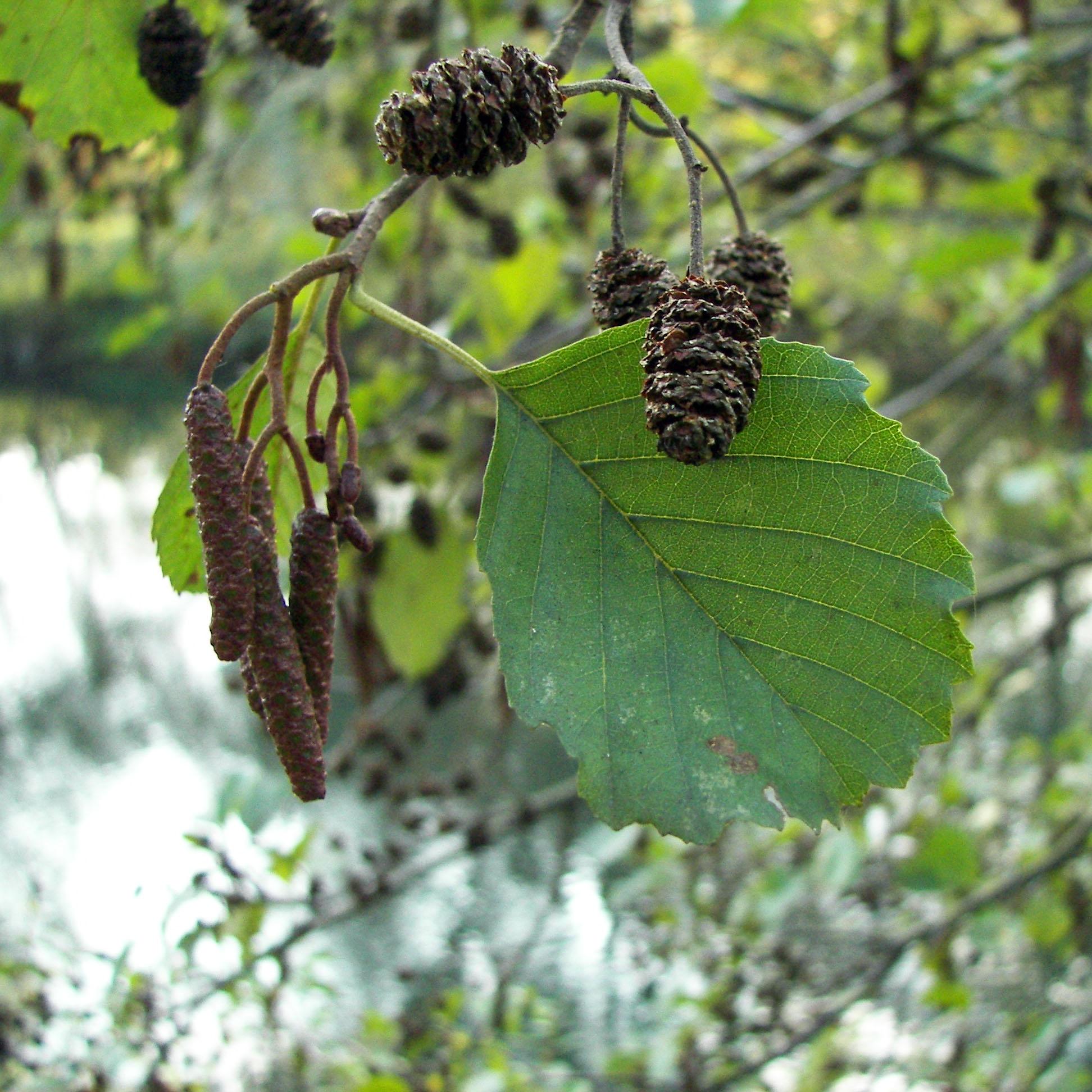 Soorten bomen en struiken prachtlint zwarte els stopboris Images