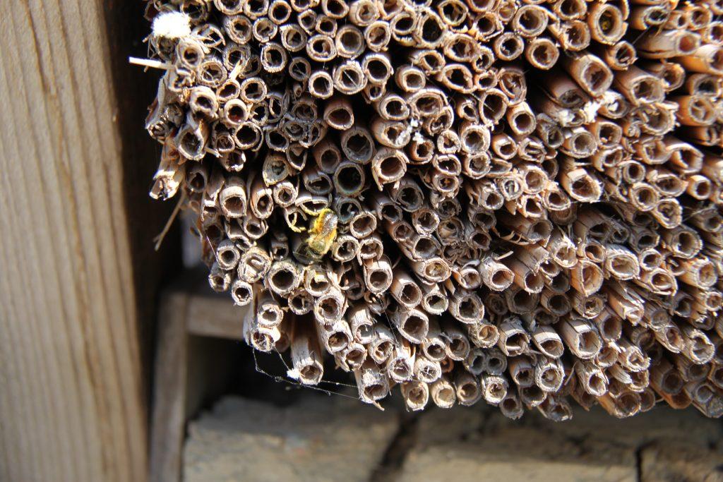 Rosse metselbij insectenhotel